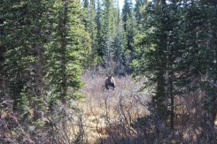 Moose sighting by Brainard Lake, Boulder