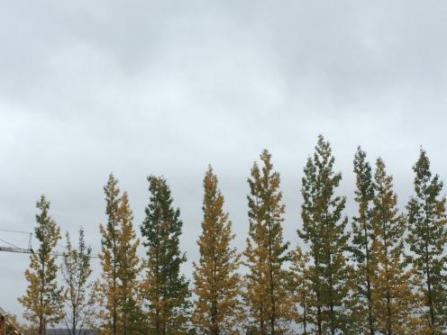 Trees in Geysir