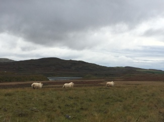 Sheep on the way to Vik